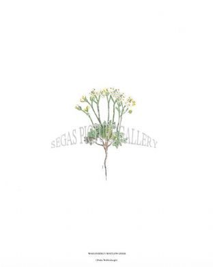 Wahlenberg's Whitlow-Grass (Draba Wahlenbergii)